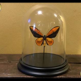 De Wonderkamer Glass dome with Wallace's Golden Birdwing (Ornithoptera croesus)