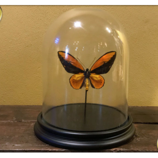 De Wonderkamer Stolp met Wallace's Golden Birdwing (Ornithoptera croesus)