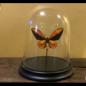 De Wonderkamer Cloche avec  Wallace's Golden Birdwing (Ornithoptera croesus)