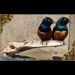 De Wonderkamer Superb starling