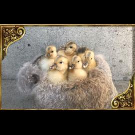 De Wonderkamer Canetons sur fourrure dans une chaudière en cuivre