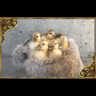 De Wonderkamer Ducklings on fur in copper kettle