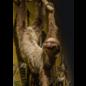 De Wonderkamer Luiaard (Choloepus didactylus)