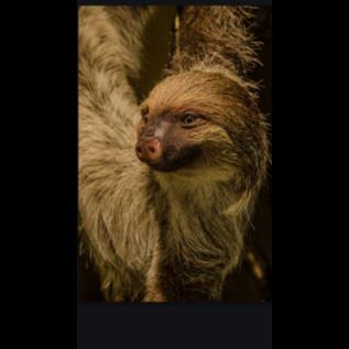 De Wonderkamer Paresseux (Choloepus didactylus)