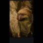 De Wonderkamer Sloth (Choloepus didactylus)