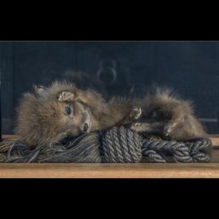 De Wonderkamer Vierkante stolp met vossenwelp (Vulpes Vulpes)