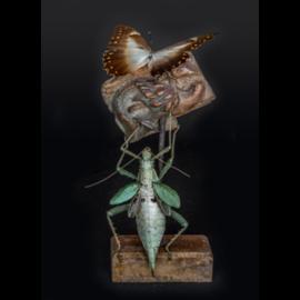 De Wonderkamer Cloche avec nymphe de la forêt malaise et Morpho telemachus