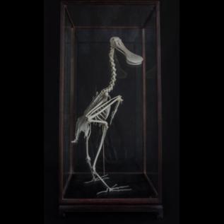 De Wonderkamer Skelet Lepelaar ( Platalea leucorodia)