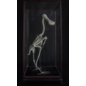 De Wonderkamer Skeleton Spoonbill (Platalea leucorodia)