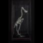 De Wonderkamer Squelette Spatule (Platalea leucorodia)
