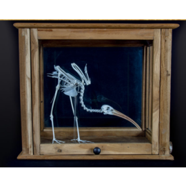 De Wonderkamer Skeleton scarlet ibis  in antique pharmacy cabinet