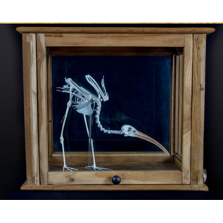 De Wonderkamer Skeleton scarlet ibis  in antique pharmacy cabinet