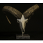 De Wonderkamer Crâne de mouflon