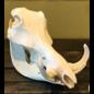 De Wonderkamer Skull Warthog (Phacochoerus africanus)