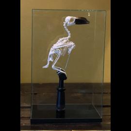 De Wonderkamer Cloche avec Squelette Bucerotidae