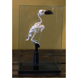 De Wonderkamer Skeleton Hornbill (Bucerotidae) in glass dome