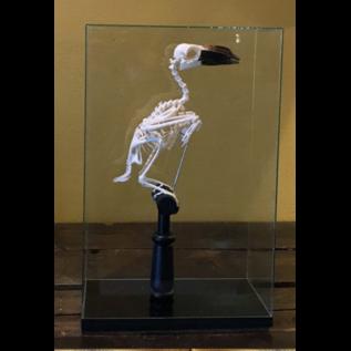 De Wonderkamer Skeleton Hornbill (Bucerotidae) in glass dome