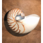 De Wonderkamer Nautilus (middelgroot)