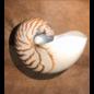 De Wonderkamer Nautilus (groot)