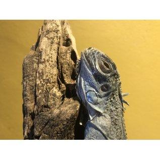 De Wonderkamer Blauwe Leguaan (Iguana iguana)