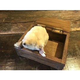 De Wonderkamer Albino mol (Talpa europaea)