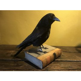 De Wonderkamer Crow on book (Corvus corone)