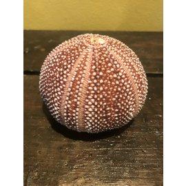 De Wonderkamer Sea urchin (Echinoidea)