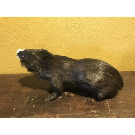 De Wonderkamer Guinea pig (black)