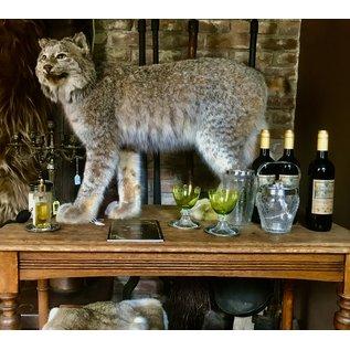 De Wonderkamer Candese lynx (Lynx canadensis)