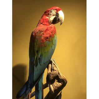 De Wonderkamer Red-and-green macaw (Ara chloropterus)