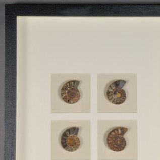 Nautilus fosiel in zwarte omlijsting