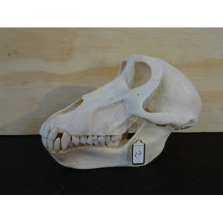 skull of a Baboon