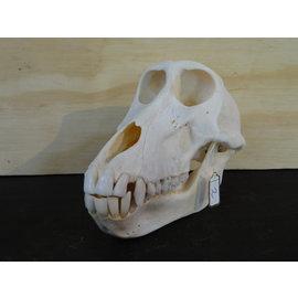 schedel van een Baviaan