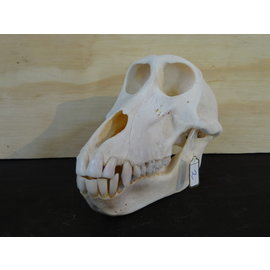 skull of a Baboon