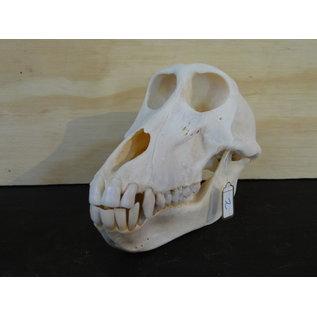 crâne d'un babouin