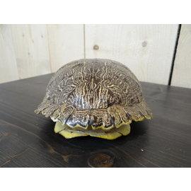 Zeer mooi Schildpadschild