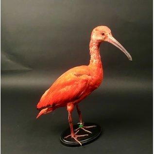 De Wonderkamer Red ibis