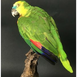De Wonderkamer Turquoise-fronted amazon (parrot)