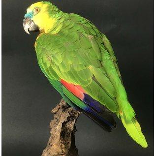 De Wonderkamer Turquoise-fronted amazon (parrot)