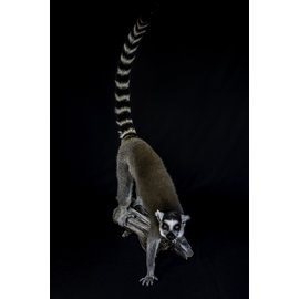 De Wonderkamer Ring-tailed lemur