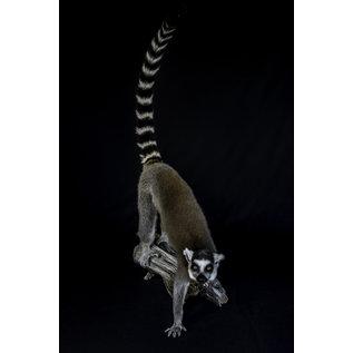 De Wonderkamer Ring-tailed lemur