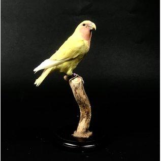 De Wonderkamer Rosy-faced lovebird