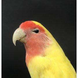 De Wonderkamer Perzikkopagapornis (Agapornis roseicollis)