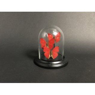 De Wonderkamer Glass dome with Blood Red Gliders (Cymothoe sangaris)