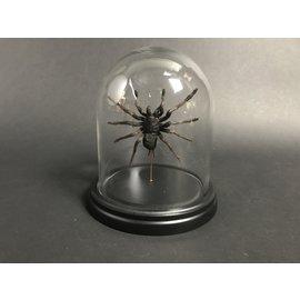 De Wonderkamer Dhome Tarantula (Eurypeima spinicrus)