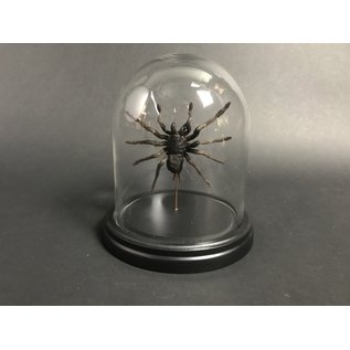 De Wonderkamer Dhome with Tarantula (Eurypeima spinicrus)