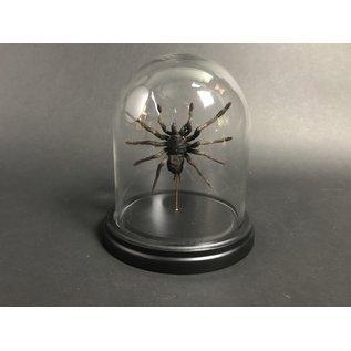 De Wonderkamer Stolp met Tarantula (Eurypeima spinicrus)