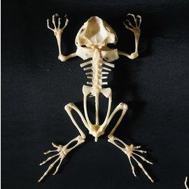 De Wonderkamer Asian toad skeleton Duttaphrynus melanostictus