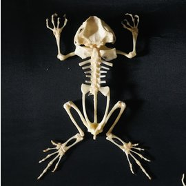 De Wonderkamer Squelette de crapaud d'Asie Duttaphrynus melanostictus