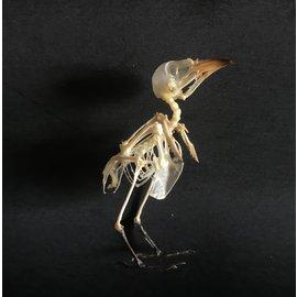 De Wonderkamer squelette d'oiseau  3 cm